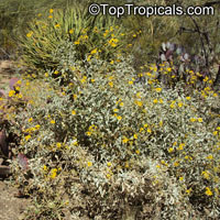 Encelia farinosa, Brittlebush, Goldenhills, Incienso  Click to see full-size image