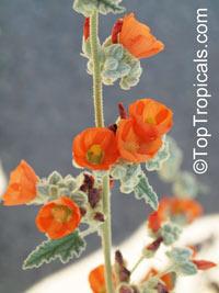 Sphaeralcea ambigua, Desert Globemallow, Apricot Mallow  Click to see full-size image