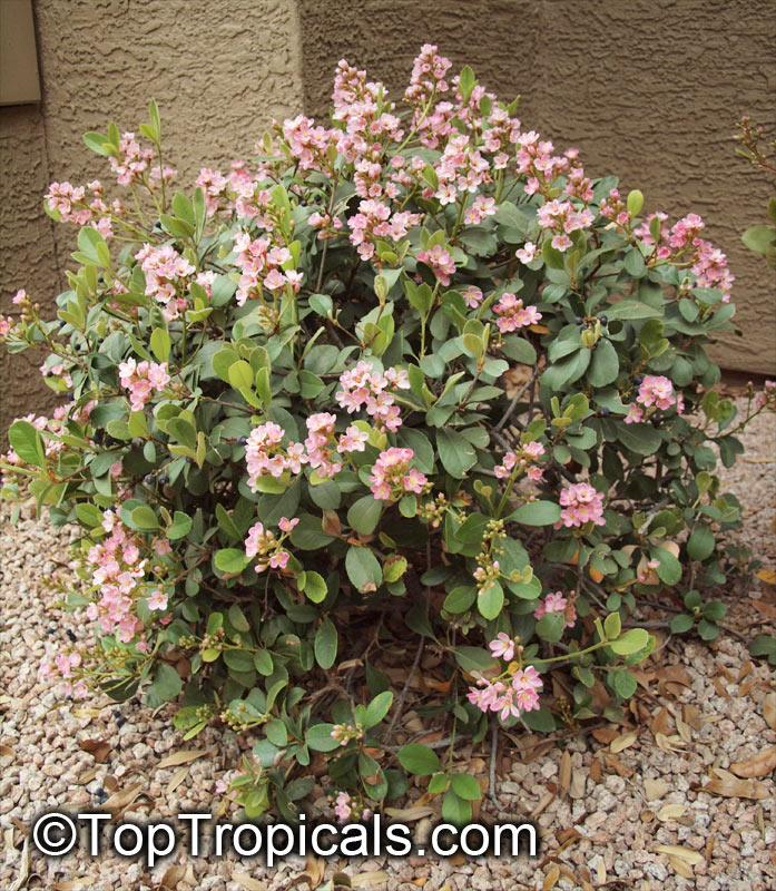 Rhaphiolepis Indica India Hawthorn Toptropicals Com