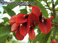 Erythrina crista galli, Erythrina laurifolia, Cry Baby Tree, Cockspur Coral Tree, Cock's Comb Coral Tree  Click to see full-size image