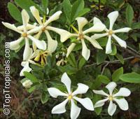 Gardenia (Kailarsenia) vietnamensis - Vietnamese Gardenia  Click to see full-size image
