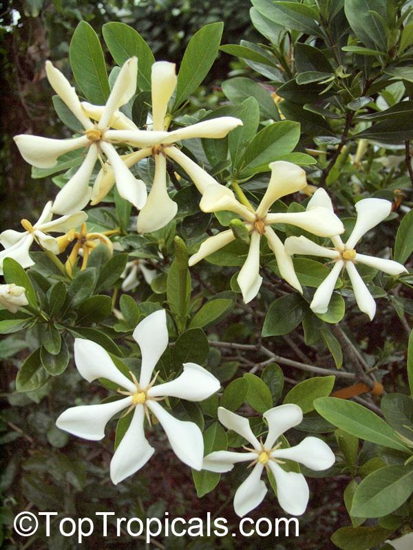 Gardenia Kailarsenia Vietnamensis Vietnamese Gardenia