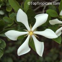 Gardenia (Kailarsenia) vietnamensis, Vietnamese GardeniaClick to see full-size image