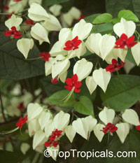 Clerodendrum thomsoniae - Bleeding Heart