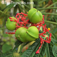 Jatropha multifida, Adenoropium multifidum, Jatropha TreeClick to see full-size image