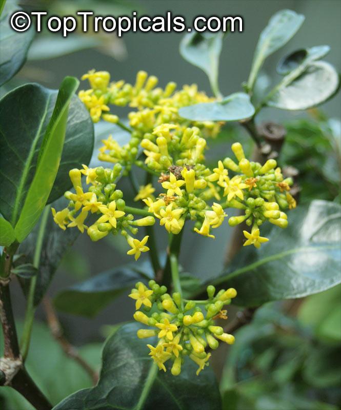 Psychotria capensis, Black Bird-Berry, Bird-Berry, Bastard ...