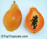 Carica papaya - Lady Red Papaya (Dwarf) - with Express shipping  Click to see full-size image