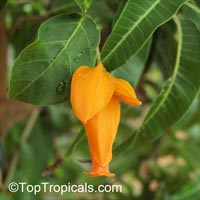 Juanulloa aurantiaca, Juanulloa mexicana, Gold Finger Plant, Mexican Spoon Flower