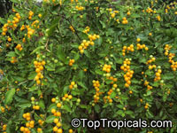 Solanum diphyllum, Twoleaf nightshade  Click to see full-size image