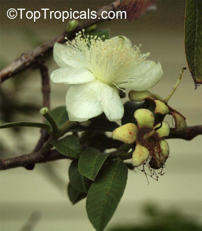 Psidium Guajava Tropical Guava Guajava Toptropicals Com
