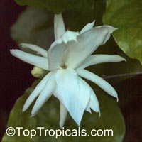 Jasminum sambac Belle of India Elongata, Nyctanthes sambac, Belle of India  Click to see full-size image