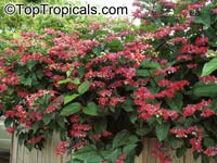 Clerodendrum speciosum (delectum)