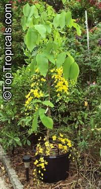 Cassia fistula, Golden Shower Tree, Indian Laburnum, Ratchaphruek  Click to see full-size image