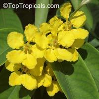 Stigmaphyllon ciliatum - Orchid Butterfly Vine, Amazon VineClick to see full-size image