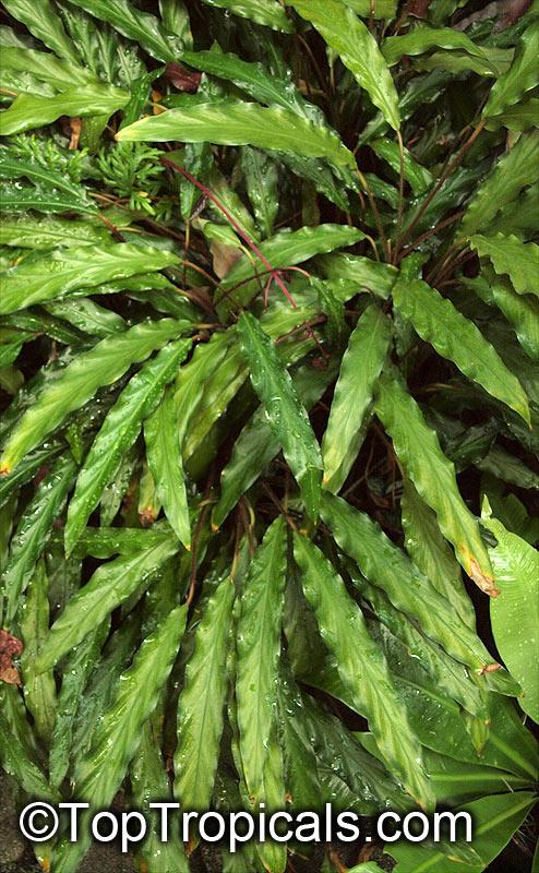 Calathea rufibarba, Velvet Calathea, Fuzzy Pheasant Feather ... on mint furry leaf plant, fuzzy ball plant, fuzzy leaf ground cover, purple fuzzy leaf plant, fuzzy leaf fern, fuzzy leaf tree, large fuzzy leafed plant, green fuzzy plant, fuzzy leaf weed, fuzzy leaf perennials, fiddle leaf fig plant, fuzzy lamb's ear plant, pandan plant, fuzzy leaf vegetable, fuzzy grass plant, fuzzy leaved plants, fuzzy leaf pink flowers,