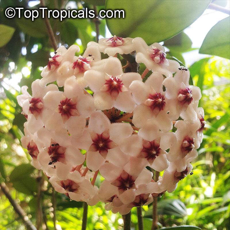 Hoya Carnosa Wax Plant Toptropicalscom