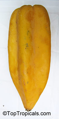 Carica pentagona, Champagne Fruit, Babaco  Click to see full-size image