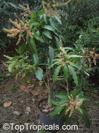Mangifera indica, MangoClick to see full-size image