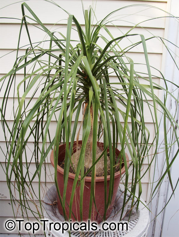 Tropical plant catalog for Ponytail palm cats