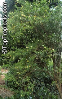 Brunfelsia densifolia, Serpentine Hill rain tree