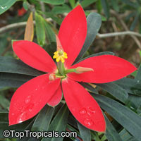 Euphorbia punicea - Jamaican Poinsettia