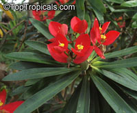 Euphorbia punicea, Jamaican Poinsettia  Click to see full-size image