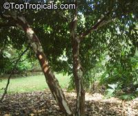 Myrciaria vexator, False Jaboticaba, Vexator, Blue Grape  Click to see full-size image