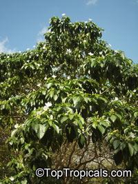 Tabernaemontana litoralis, Stemmadenia galeottiana, Stemmadenia litoralis, Lechoso, Milky Way Tree  Click to see full-size image