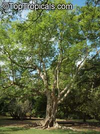 Ficus racemosa, Ficus glomerata, Cluster Fig, Gular  Click to see full-size image