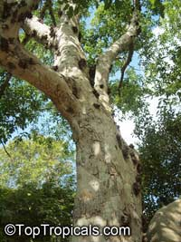 Ficus racemosa, Ficus glomerata, Cluster Fig, Gular