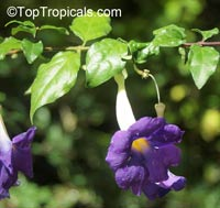 Thunbergia erecta, King's Mantle, Bush Clock Vine