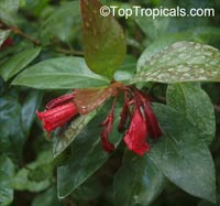 Portlandia coccinea, Pink Bell Flower, Tree LilyClick to see full-size image