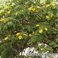 Uncarina grandidieri, Harpagophytum grandidieri, Mouse trap tree, Succulent Sesame  Click to see full-size image