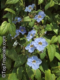 Thunbergia laurifolia, Blue Trumpet Vine, Blue Sky vine, Laurel-leaved thunbergia  Click to see full-size image