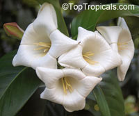 Portlandia albiflora, White Horse Flower, Tree Lily  Click to see full-size image