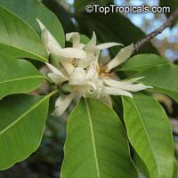 Magnolia x Alba, Michelia x Alba, White Champak, Pak-Lan, Banana Shrub, Cempaka Putih, Bai Yu Lan ( white-jade flower), Bai Yu Lan, Safa  Click to see full-size image