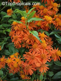 Senecio confusus - Mexican flame vine (Pseudogynoxus chenopodiodes)  Click to see full-size image