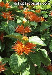 Justicia chrysostephana - Orange Plume Flower   Click to see full-size image