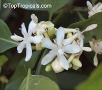 Randia siamensis, Oxyceros horridus, Fragrant randia  Click to see full-size image