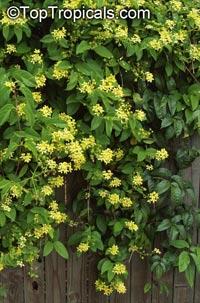 Tristellateia australasiae - Vining Thriallis, Australian Golden Vine  Click to see full-size image