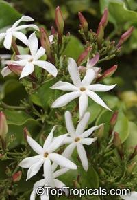 Jasminum dichotomum - Rose Bud JasmineClick to see full-size image