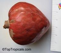 Annona reticulata, Custard Apple (Chirimoya - Cuba), Corazon  Click to see full-size image
