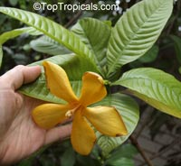 Gardenia sootepensis, Golden Gardenia  Click to see full-size image