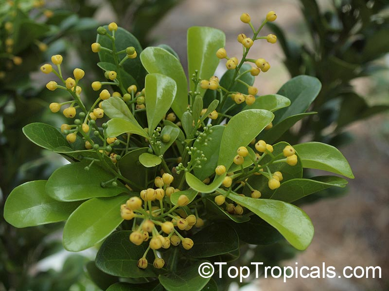 Tropical plant catalog - TopTropicals com