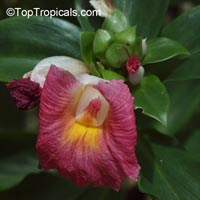 Costus fissiligulatus , African Princess, Spiral Ginger, Cameroon Costus  Click to see full-size image