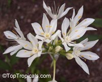Proiphys amboinensis, Cardwell Lily, Northern Christmas Lily  Click to see full-size image