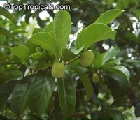 Artocarpus hypargyraeus, Kwai MukClick to see full-size image