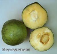 Casimiroa edulis var. var. Young Hands - Super Sweet White Sapote 