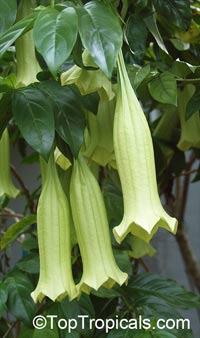 Portlandia (Cubanola) domingensis - CubanolaClick to see full-size image