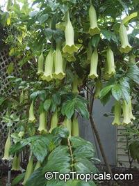 Cubanola domingensis, Portlandia domingensis, Cubanola, Tree Lily, Campanita Criolla  Click to see full-size image